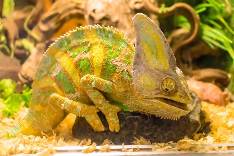 Chamäleon mit den großen Augen verkleidet im Aquarium stockfoto