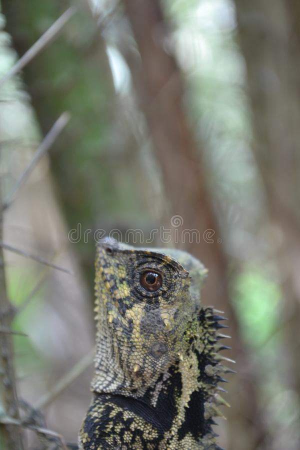 Chamäleone kriechen zwischen Dornen von salaca Bäumen lizenzfreie stockbilder