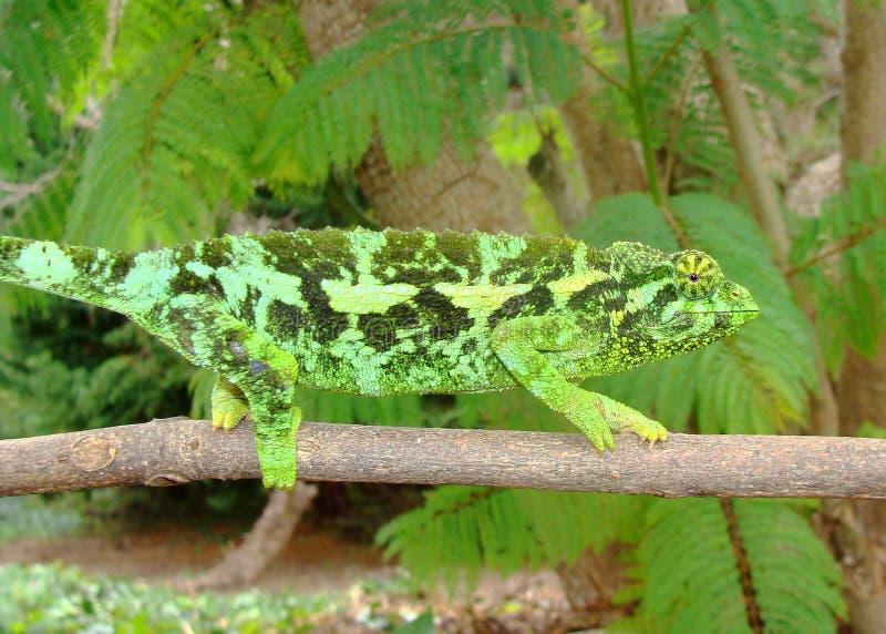 chama kameleonu żeńska Jackson jaszczurka s zdjęcia stock