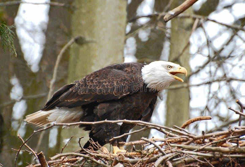 A chamada da águia imagem de stock