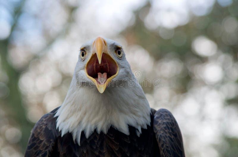 Chamadas da águia americana a seu companheiro visto perto acima fotografia de stock