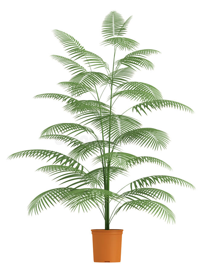 Chamaedorea Palm In Container Royalty Free Stock Photo