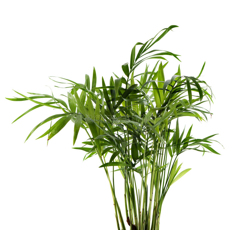 Chamaedorea Plant Stock Photos