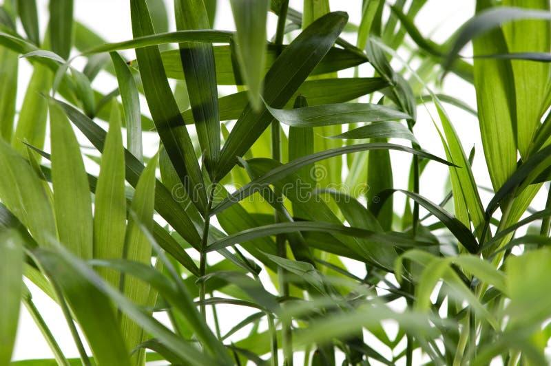 Chamaedorea Plant Royalty Free Stock Photo