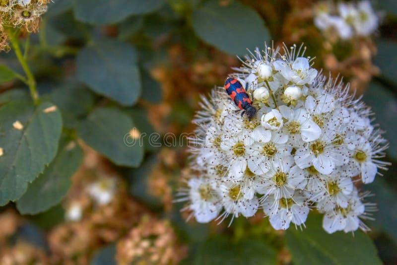 """Chamaedryfolia """"Ulmen-Spierstrauch """"Spiraea кустарника со свежей зеленой листвой и белыми umbels весной и жуком на цветке стоковые изображения rf"""