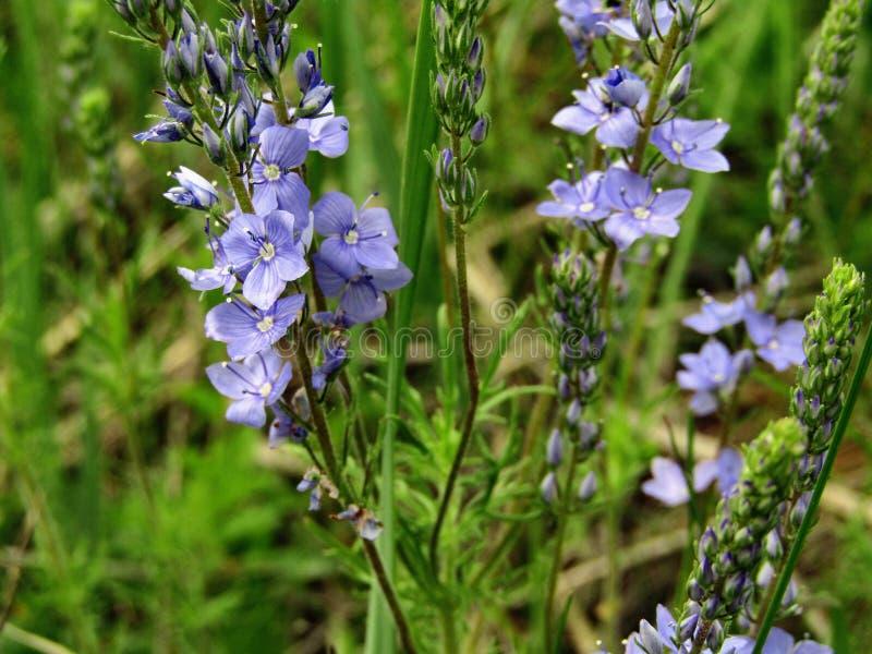 Chamaedrys bleus de Veronica de fleur photo libre de droits
