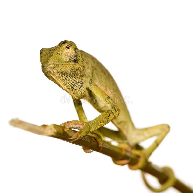 chamaeleo薄肌变色蜥蜴的dilepis 库存照片