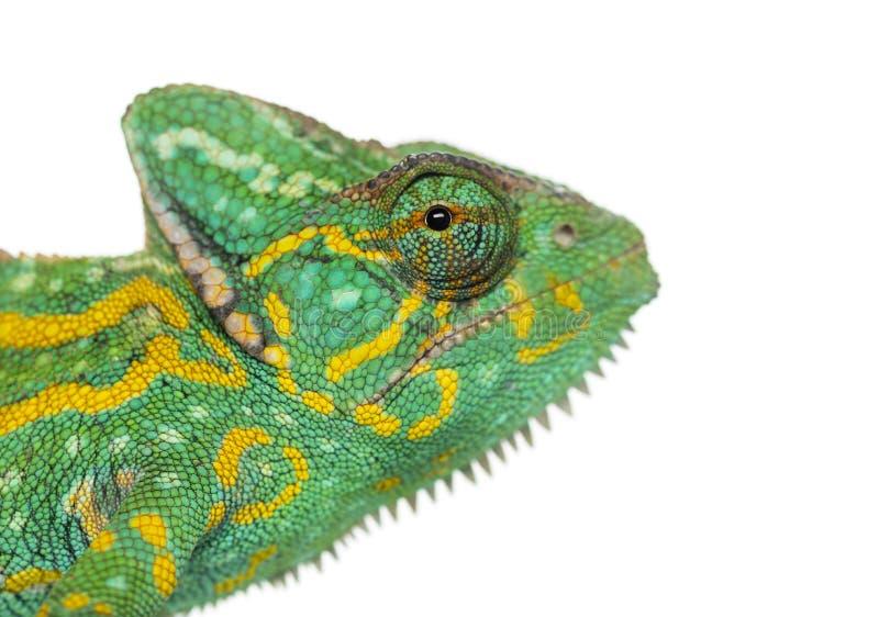 - Chamaeleo calyptratus -被隔绝的也门变色蜥蜴的特写 库存图片