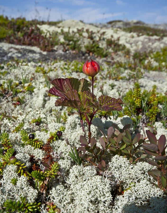 Chamaemorus de Cloudberries.Rubus. images libres de droits