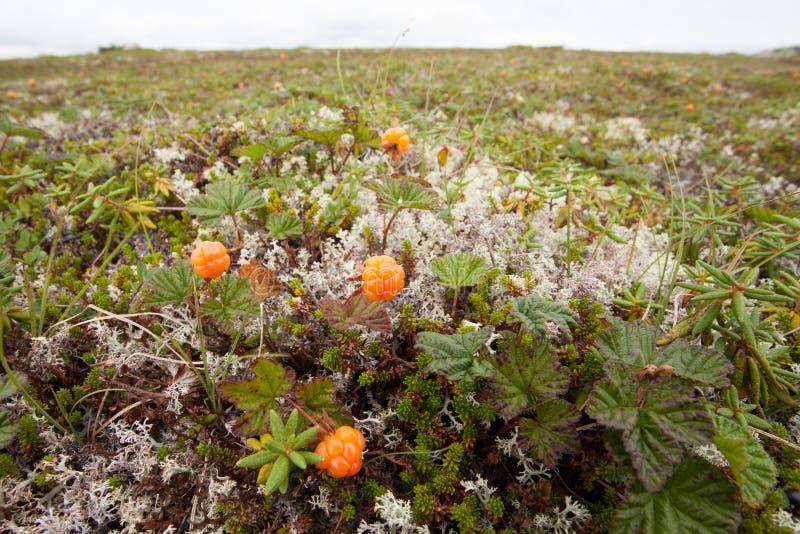Chamaemorus sauvage de Rubus de faux mûriers mûr dans la toundra images stock