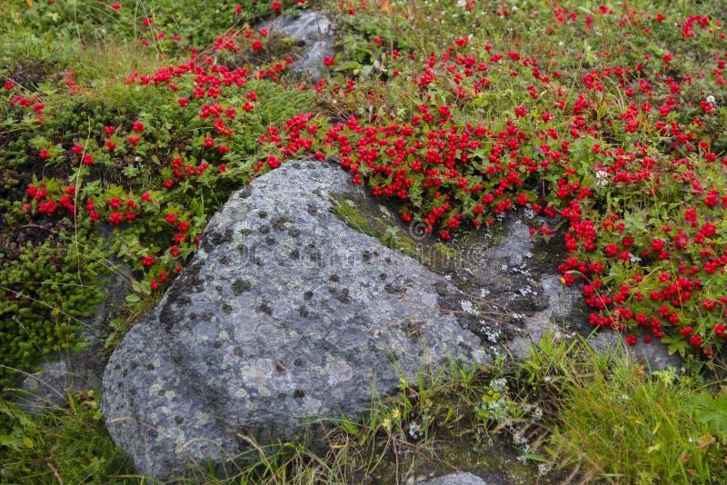 Chamaepericlymenum suecicum, Kola Peninsula. Swedish Dwarf Cornel. Nature of the coast of the Barents Sea. Kola Peninsula royalty free stock photo