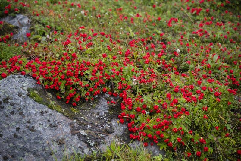 Chamaepericlymenum suecicum. Swedish Dwarf Cornel. Nature of the coast of the Barents Sea. Kola Peninsula royalty free stock photos