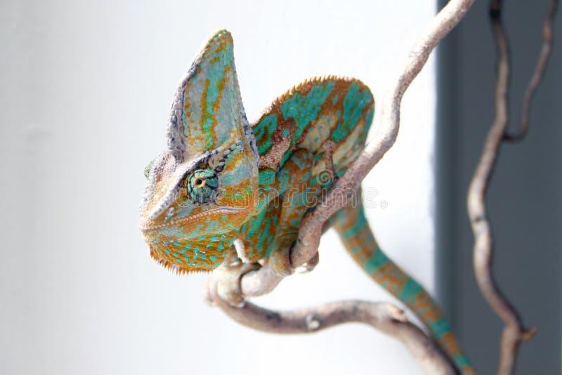 Chamaleon curioso fotos de archivo libres de regalías