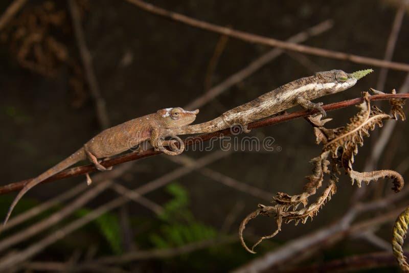 Chamaleons photographie stock libre de droits