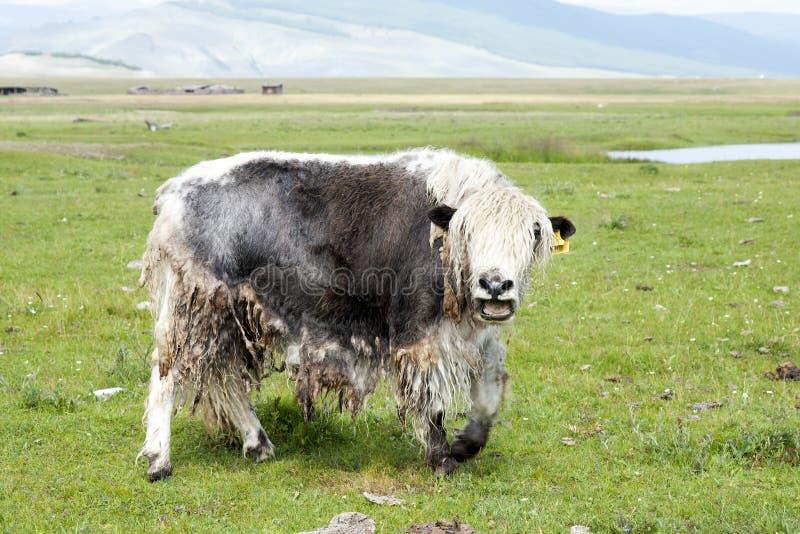 Chamando iaques novos no vale do Darkhad de Mongólia do norte foto de stock
