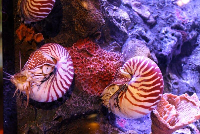 Chambered nautilus royalty-vrije stock fotografie