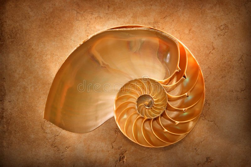 chambered nautilus стоковые фотографии rf