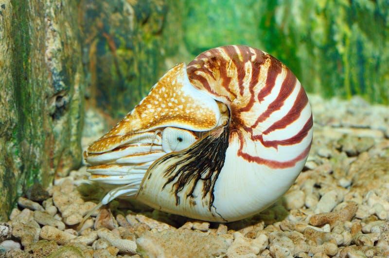 chambered nautilus fotografering för bildbyråer