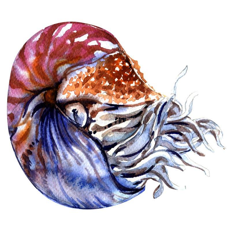Chambered nautilus, Nautiluspompilius, pärl- nautilus, isolerat skal, vattenfärgillustration på vit stock illustrationer