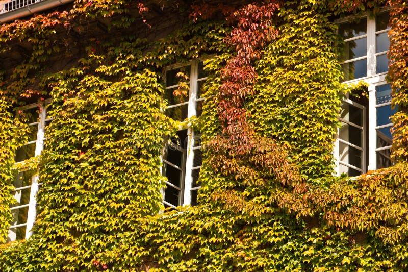 Chambre avec la plante grimpante de Virginie images libres de droits