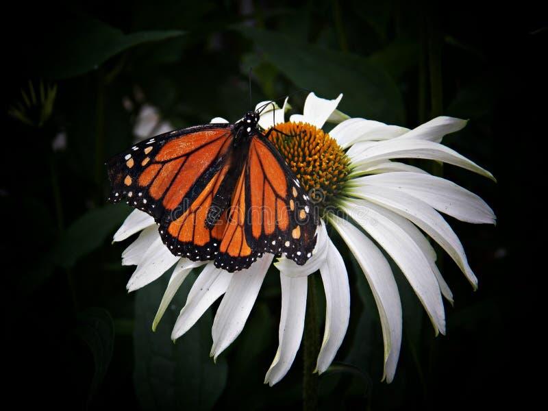 Chambre de papillon de crique de hêtre photo libre de droits