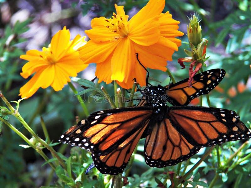 Chambre de papillon de crique de hêtre photographie stock