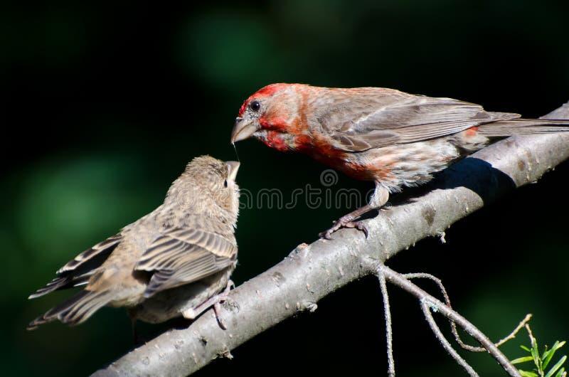 Chambre masculine Finch Feeding ses jeunes photos libres de droits