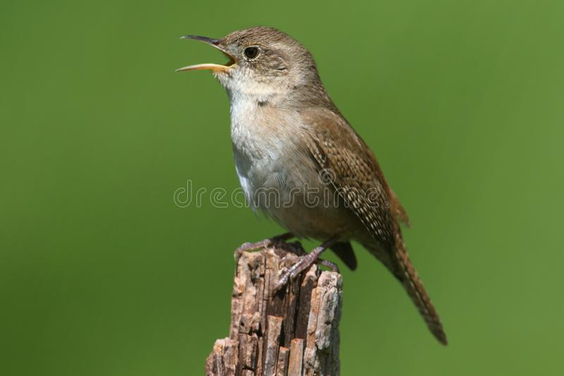Chambre Wren Singing image stock