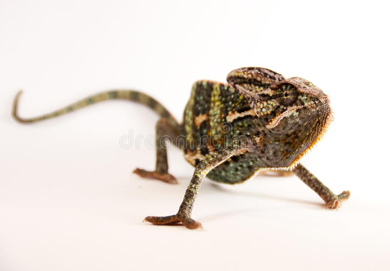 Chamealeo Chalyptratus fotografia stock libera da diritti