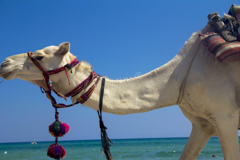 Chameau Arabe sur la plage photos stock