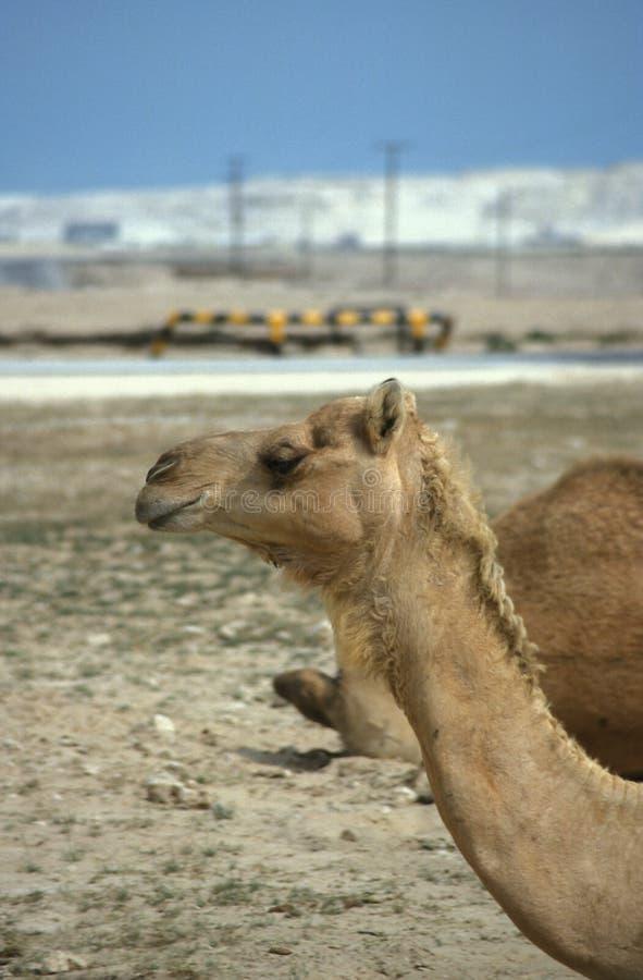 Chameau au Bahrain images stock