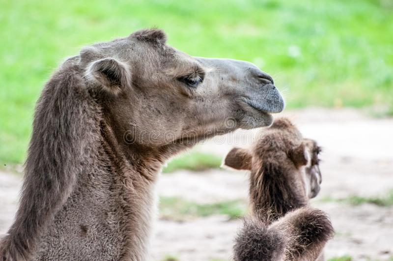 Chameau avec sa progéniture, chameau de bébé, se trouvant sur l'herbe, au parc zoologique photos libres de droits