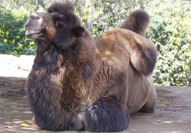Download Chameau Bactrian photo stock. Image du mammifère, adaptation - 45354406