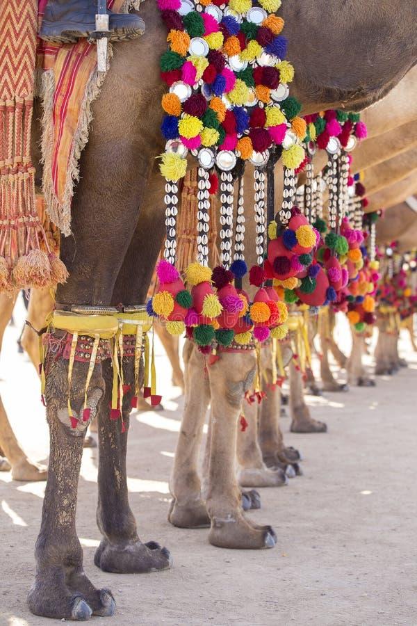 Chameau décoré au festival de désert dans Jaisalmer, Ràjasthàn, Inde Pieds du ` s de chameau images stock