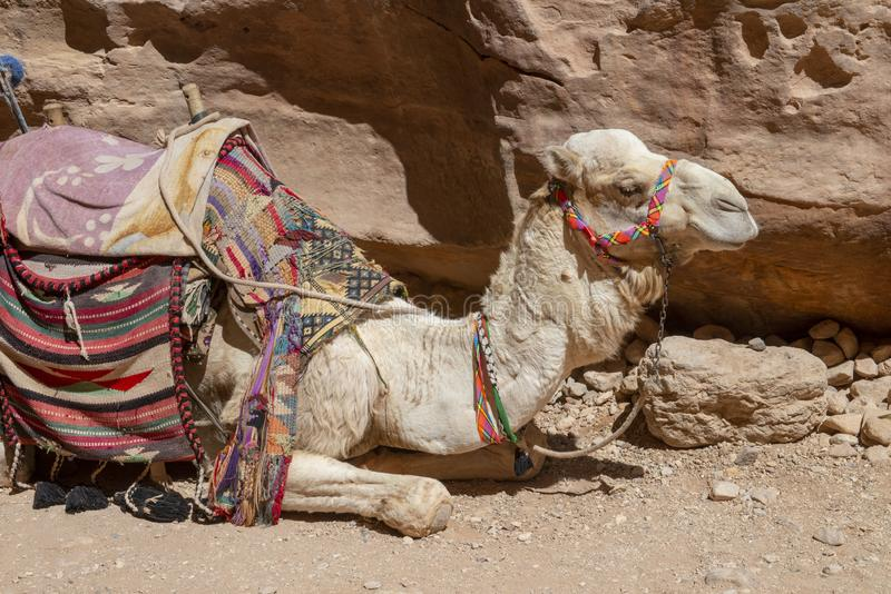 Chameau, désert, voyage, Jordanie, Moyen-Orient photos stock