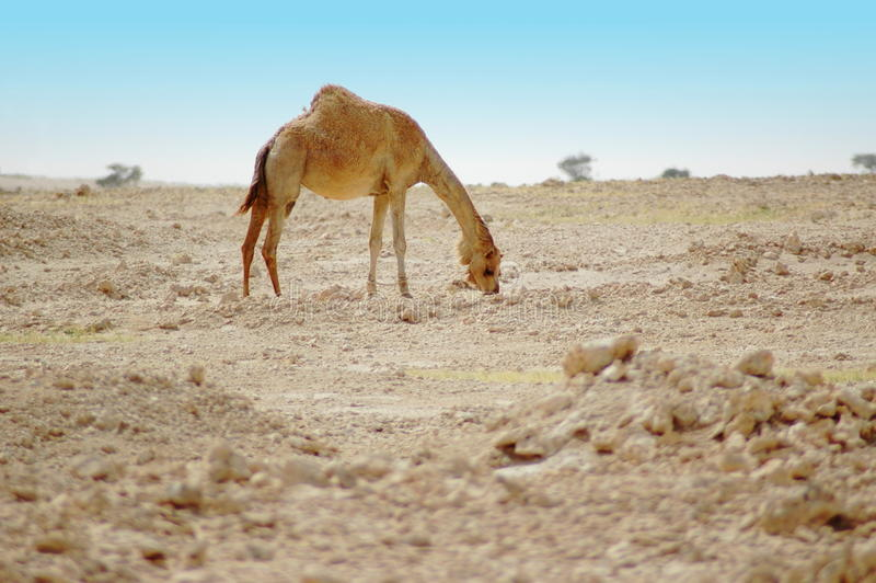 Chameau dans le désert photo libre de droits