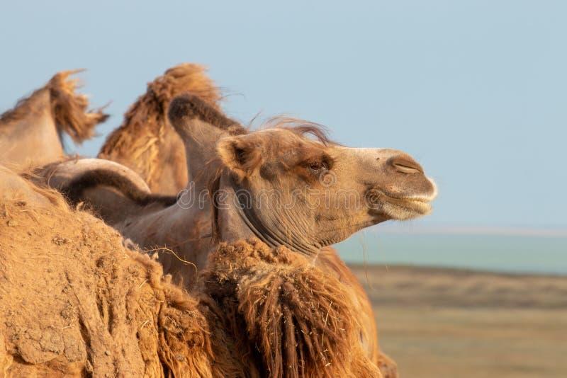 Chameau dans le profil sur le fond de la steppe en Russie image libre de droits
