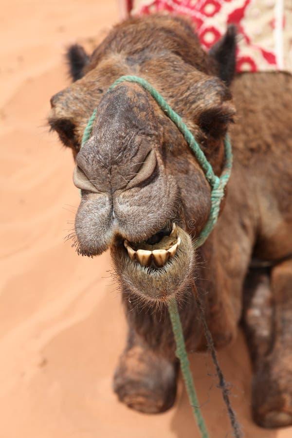 Chameau de sourire dans le désert images libres de droits