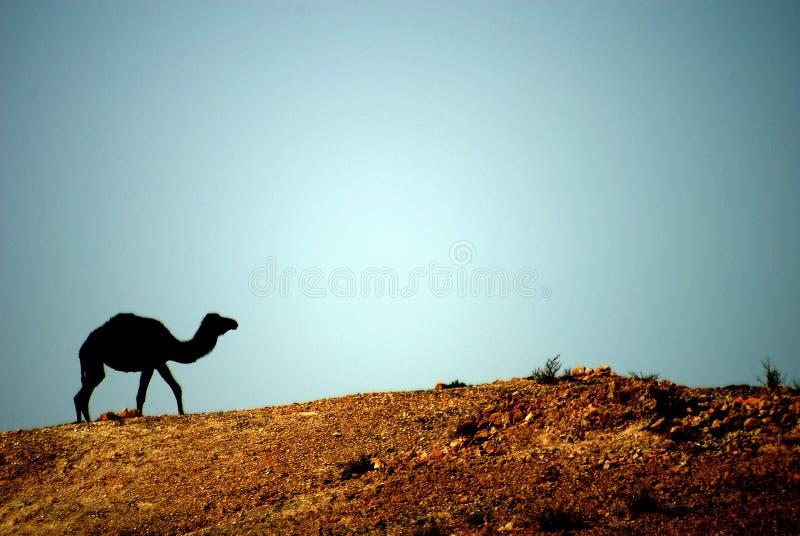 Chameau en DE du Moyen-Orient photographie stock libre de droits