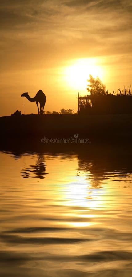 Chameau En Egypte Photo libre de droits