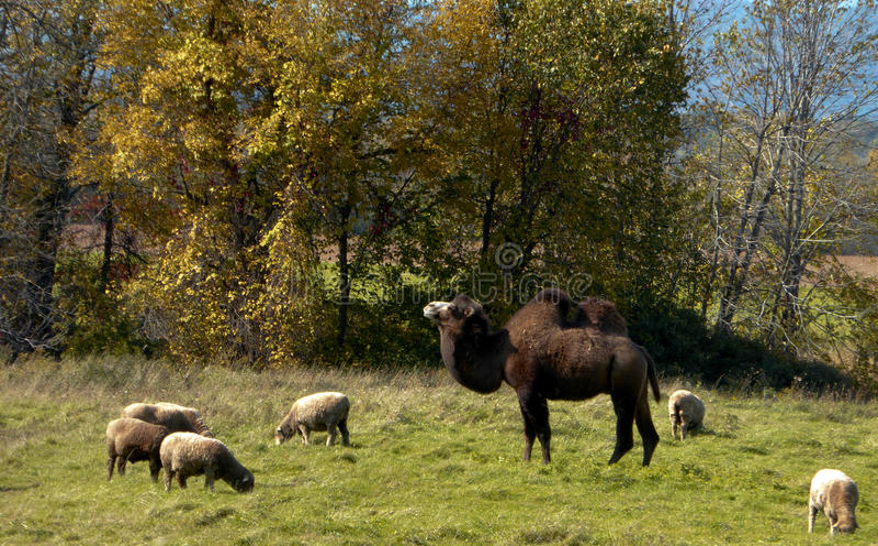 Download Chameau et moutons photo stock. Image du pâturage, moutons - 45357208