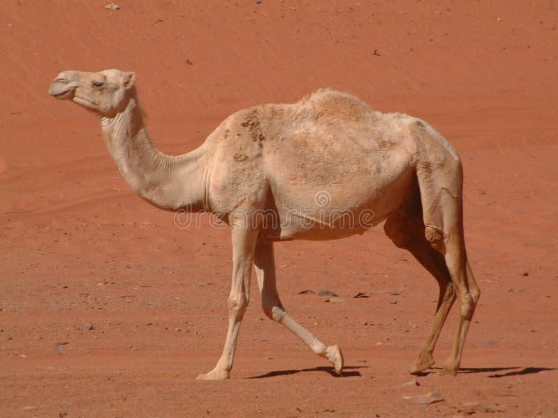Chameau marchant dans le désert photographie stock libre de droits