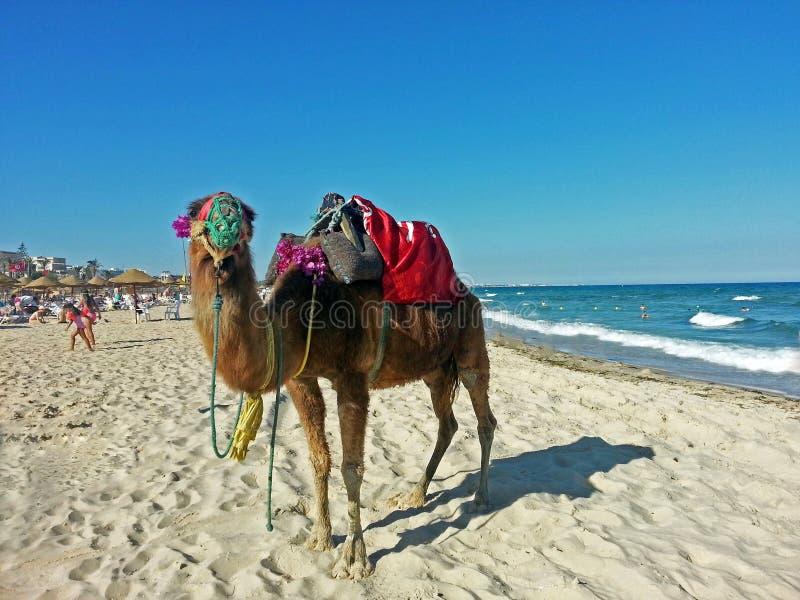 Chameau marchant sur la plage photographie stock