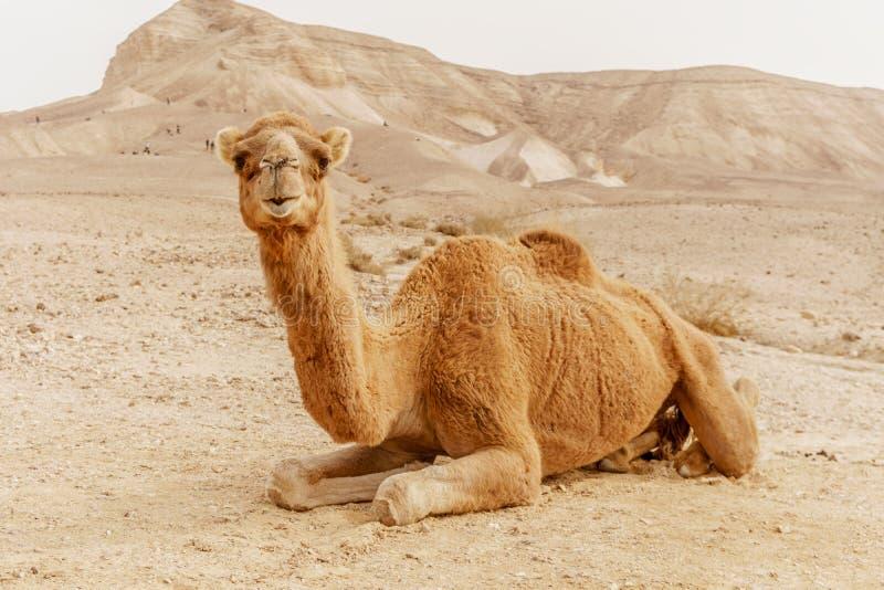 Chameau pittoresque de dromadaire de désert se trouvant sur le sable et regardant dans l'appareil-photo image libre de droits