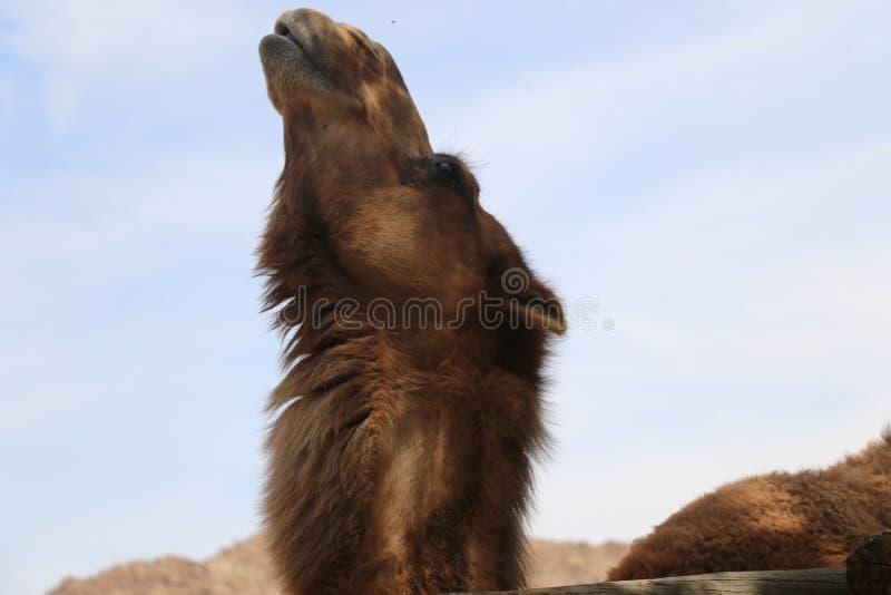 chameau proche de la fureur de visage regardant du ciel photographie stock