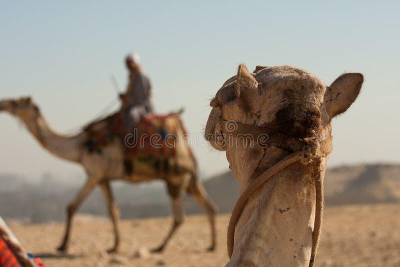 Chameau regardant fixement un autre chameau dans le désert. image stock