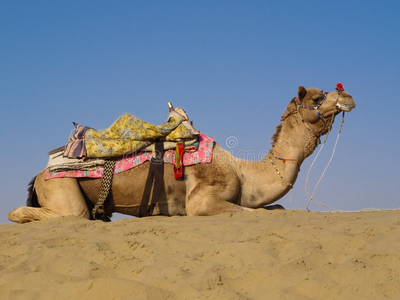 Chameau se reposant sur la dune de sable images libres de droits