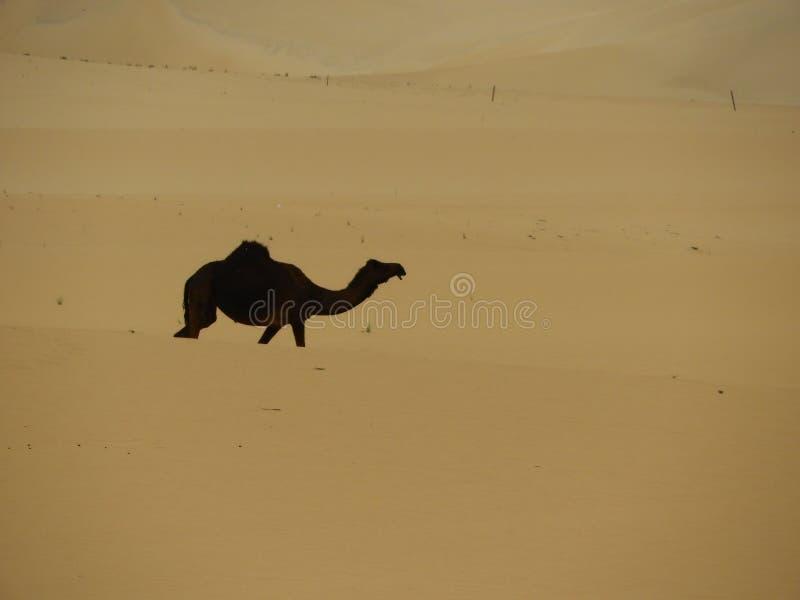 Chameau simple dans le désert photo stock