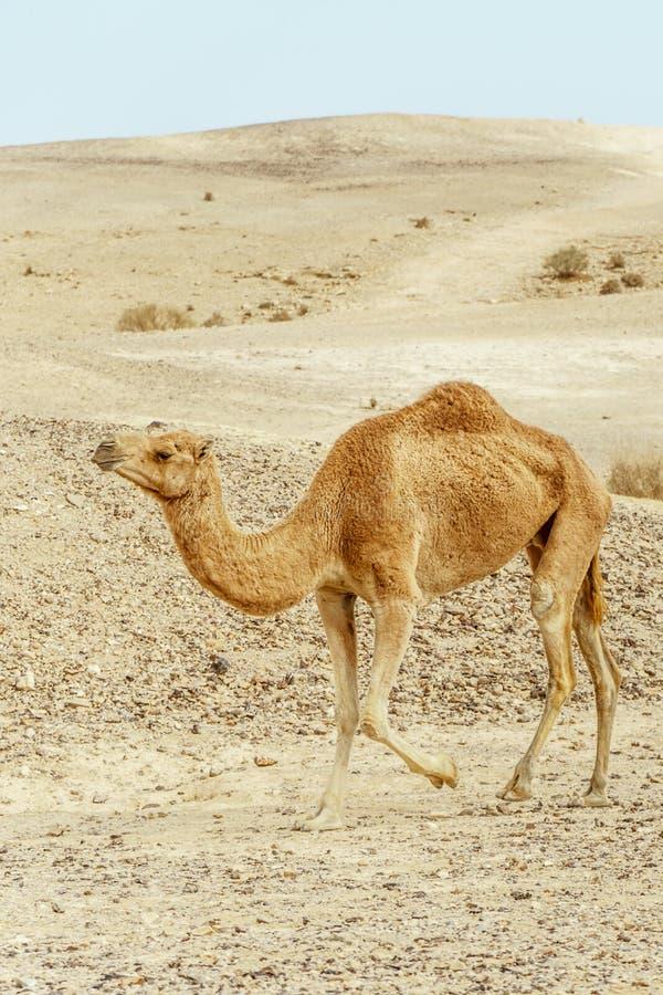 Chameau simple marchant par le désert sec en dunes de Moyen-Orient image stock
