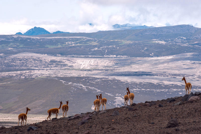 Chameau sud-américain sauvage, les Andes de l'Equateur central images libres de droits